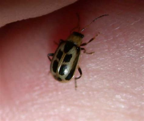 bean leaves bed bugs bean leaf beetle insect id