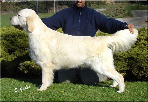 dewmist golden retrievers dewmist silk sensation chien de race toutes races en tous departements inscrit