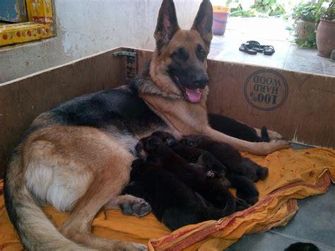 german shepherd puppies  salepujala vivek kumar