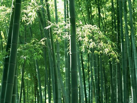 complete information about bamboo plants eagriculture