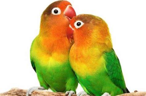 pappagalli inseparabili alimentazione avere un pappagallo il portale dei bambini