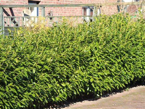 Kirschlorbeer Als Hecke 250 by Kirschlorbeer Novita Prunus Laurocerasus Novita