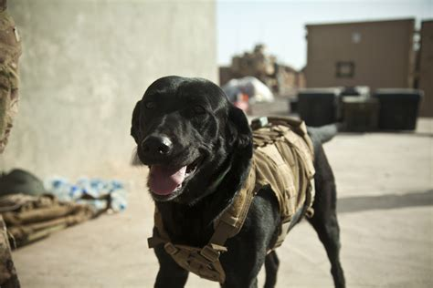 combat dogs war dogs dodlive
