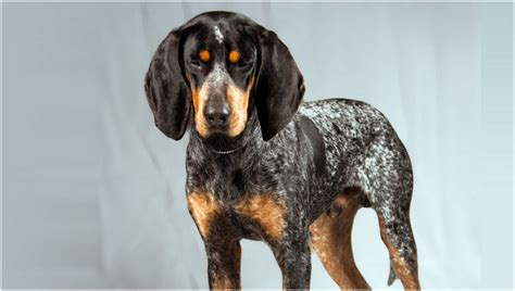blue tick bluetick coonhound puppies facts diet pictures behaviour lifestyle animals adda