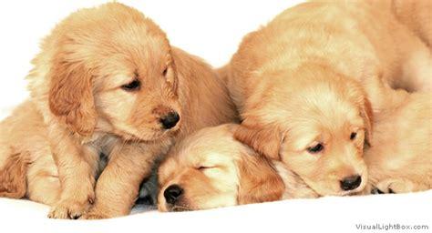 golden retriever puppy guide golden retriever pictures