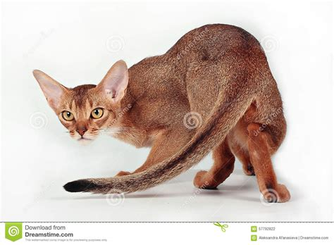 Wild ruddy abyssinian cat stock photo. Image of rare ...