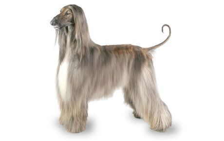 afghan hound dog breed information, pictures