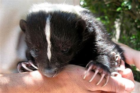 Why Does House Smell Like Skunk 1000 Ideas About Skunk Smell Remover On Skunk