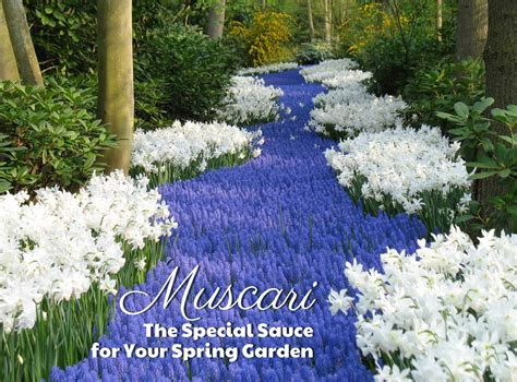 Longfield Gardens by Muscari The Special Sauce For Your Garden