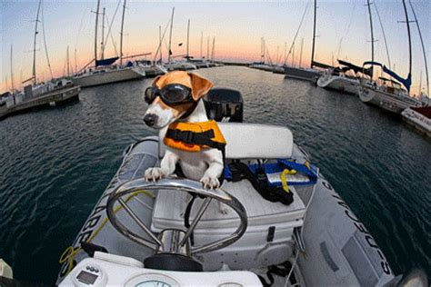 boat driving water skiing duma the water skiing and boat driving dog thrill on