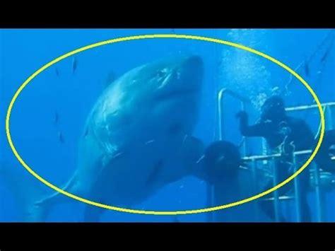 submarino el tiburn asesino capturan a un tibur 243 n de 6 metros y 381 kilos en australia