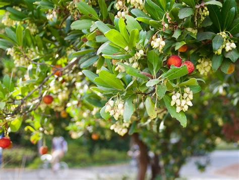 Arbutus Unedo Marina by Arbutus Unedo Strawberry Tree 183 A Marina Marina