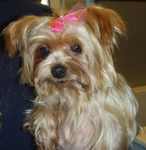 911 yorkie rescue nellee s web page