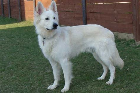white shepherd puppies for sale white shepherd puppies for sale from reputable breeders