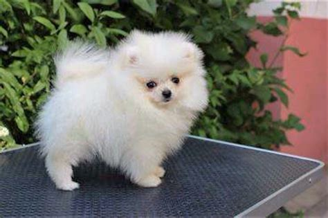 teacup pomeranian teacup dachshund puppies for sale breeds picture