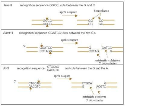 les enzymes de restriction en direct sur youtube ! lebioblog