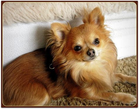 pictures of long haired chihuahua haircuts little bear long haired chihuahua dog and animal