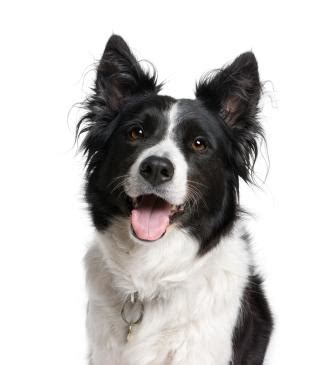smart dogs a list of the smartest breeds lovetoknow