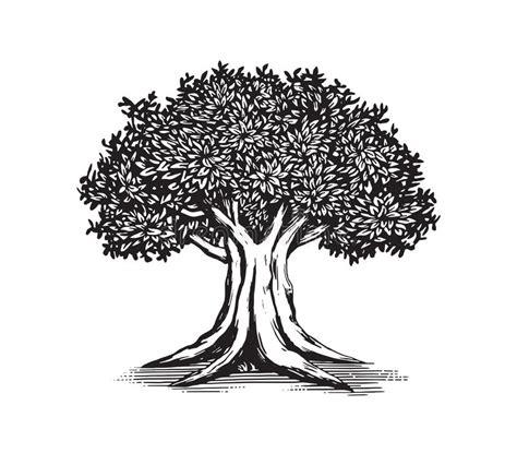 oak tree template oak tree drawing vector logo design illustration stock