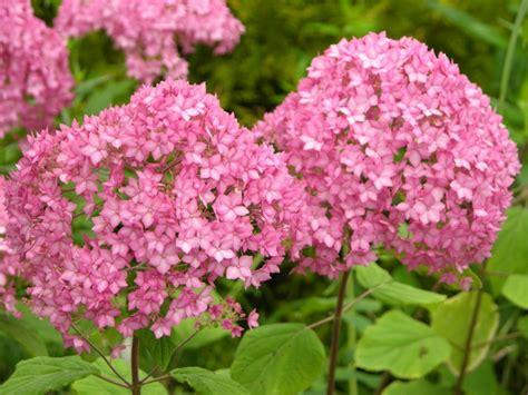 Hortensien Pflanzen Und Pflegen 4462 by Passende Hortensien Pflege F 252 R Wesentlich Mehr Bl 252 Ten