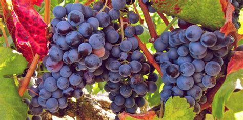Blue Kitchen by The Grape Grandma Vitis Vinifera