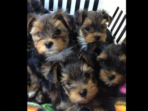 yorkie puppies for sale upstate ny terrier for sale by upstate new yorkies american kennel club