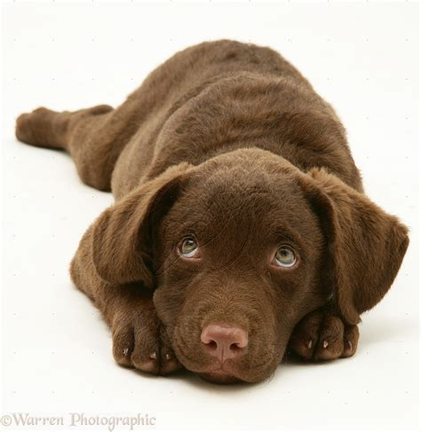 chesapeake puppies chesapeake bay retriever breed guide learn about the chesapeake bay retriever