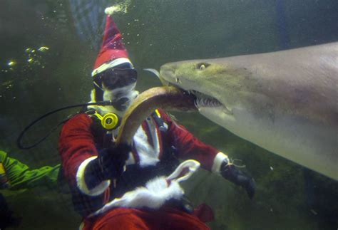 santa claus gets dangerously to shark at manly sea sanctuary in sydney australia