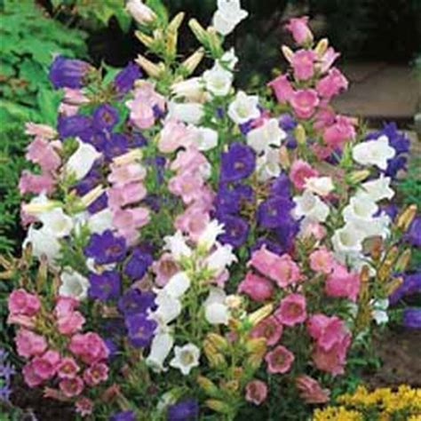 Canterbury Bells Cottage Mixed Johnsons Seeds Flower Seeds