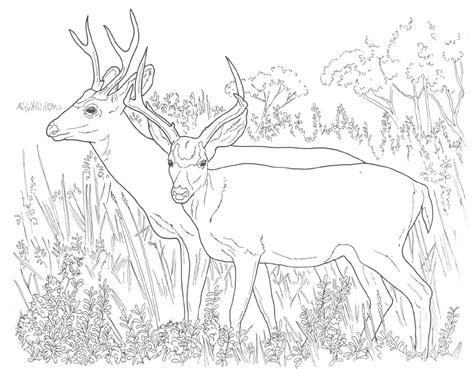 key deer coloring pages animal coloring pages mule deer coloring pages