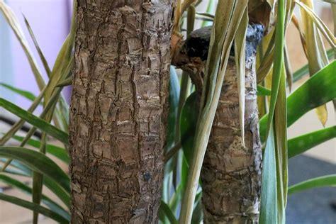 garten yucca braune flecken yucca palme hat gelbe bl 228 tter braune flecken warum und