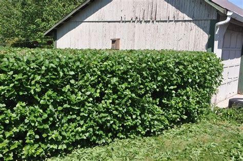 viburno in vaso viburno piante da giardino coltivare viburno