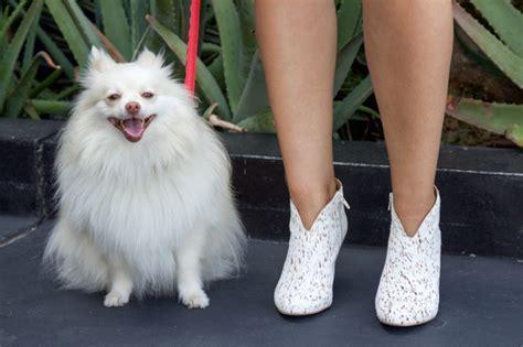 mango the pomeranian the denim dress horses heels
