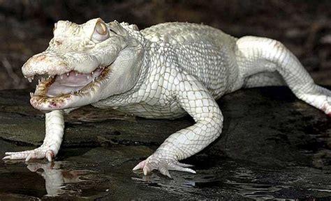 imagenes de animales albinos 16 imagenes de animales albinos realmente hermosas