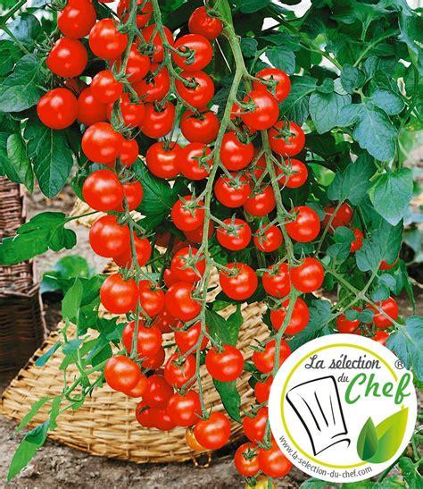 Welche Erde F R Tomaten 4981 by Veredelte Kirsch Tomate Pepe F1 Bei Baldur Garten