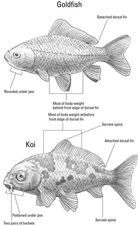 Information on goldfish and koi , including their types