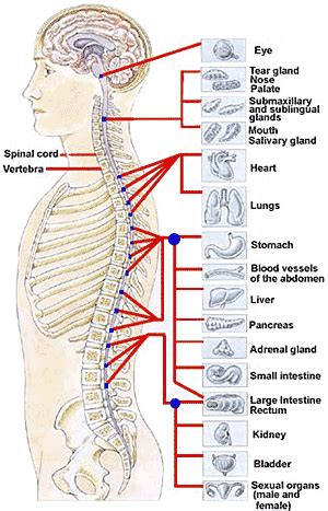 spinal cord pain after c section spinal cord human anatomy