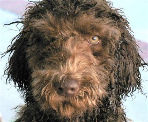 Curly Haired Dog Haircuts | taylors sc australian labradoodles dog breeder
