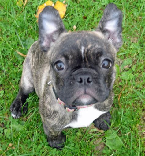 boston terrier bulldog mix puppies for sale boston terrier bulldog mix puppies for sale
