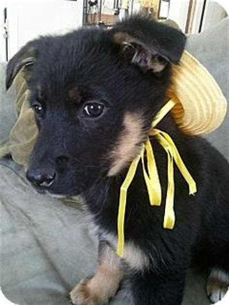 german shepherd puppies adoption ma massachusetts adopt foster sponsor me on adoption animal shelter and