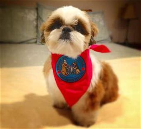 when does a shih tzu puppy become a shih tzu therapy dogs