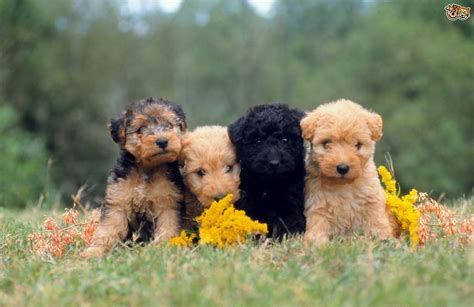 lakeland terrier puppies lakeland terrier breed information buying advice photos and facts pets4homes