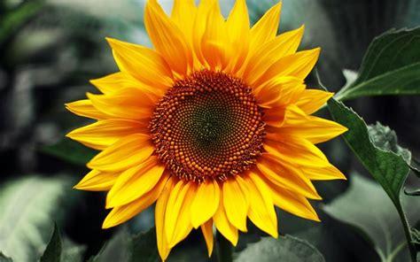fiori significati fiori dell amicizia significato fiori