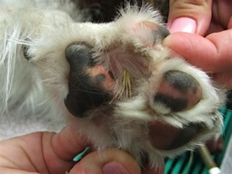 foxtail paw protecting your pet from foxtails healthy paws pet insurance