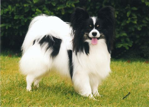 papillon havanese mix papillon havanese mix photos breeds picture