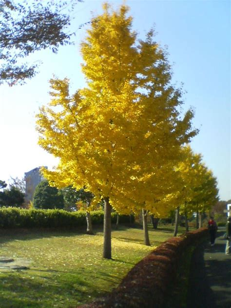 the curious history of the ginkgo laidback gardener