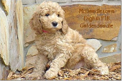 mini goldendoodles florida 1000 images about goldendoodles dogs i on