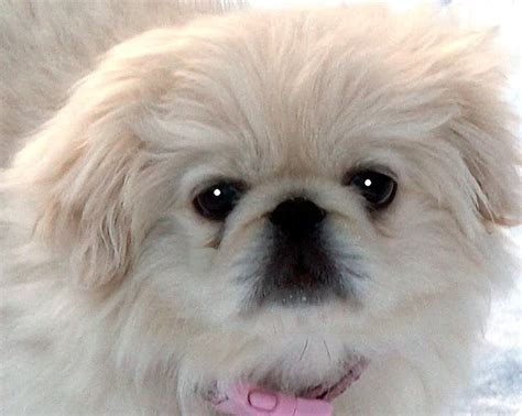 white pekingese puppies pin white pekingese puppies photos all pictures and wallpapers on