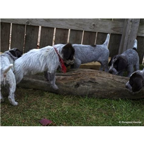 puppies for sale in muskegon mi german wirehaired pointers available in lower mi ad 77641