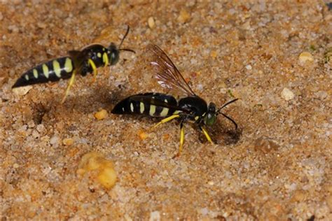 sand burrowing bee 4 img_3387: drummer: galleries: digital